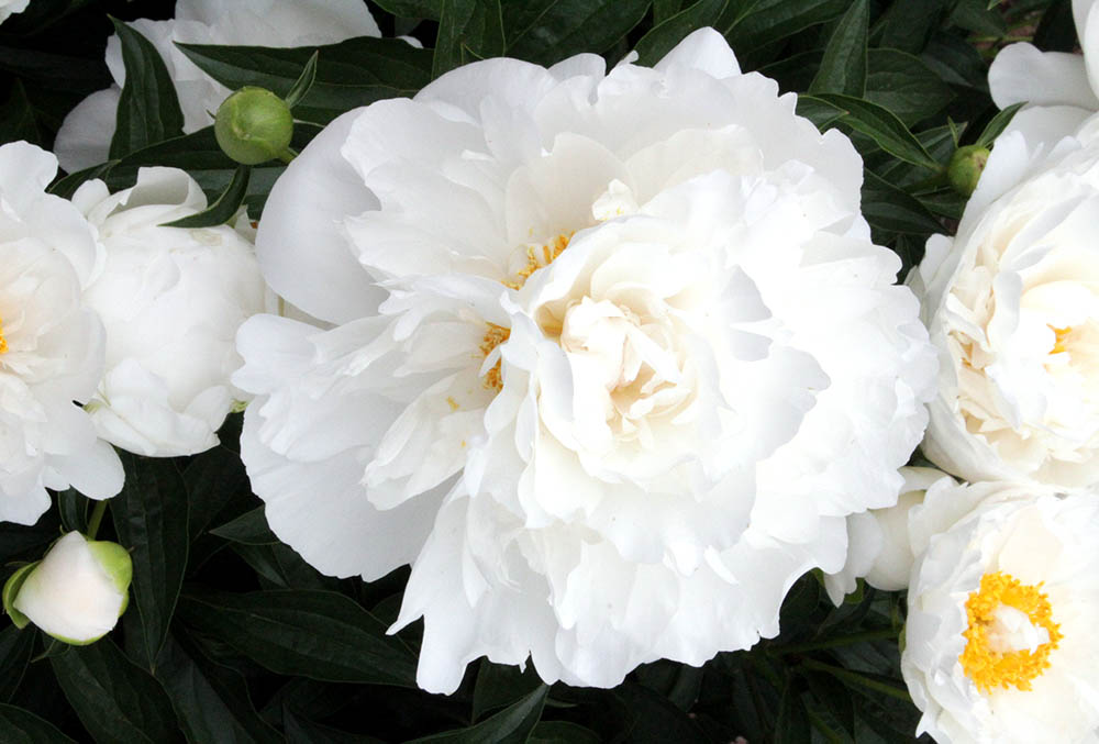 Photographic image of peonies.