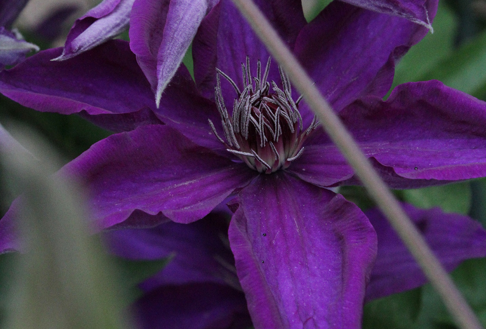 Photographic image of clematis.