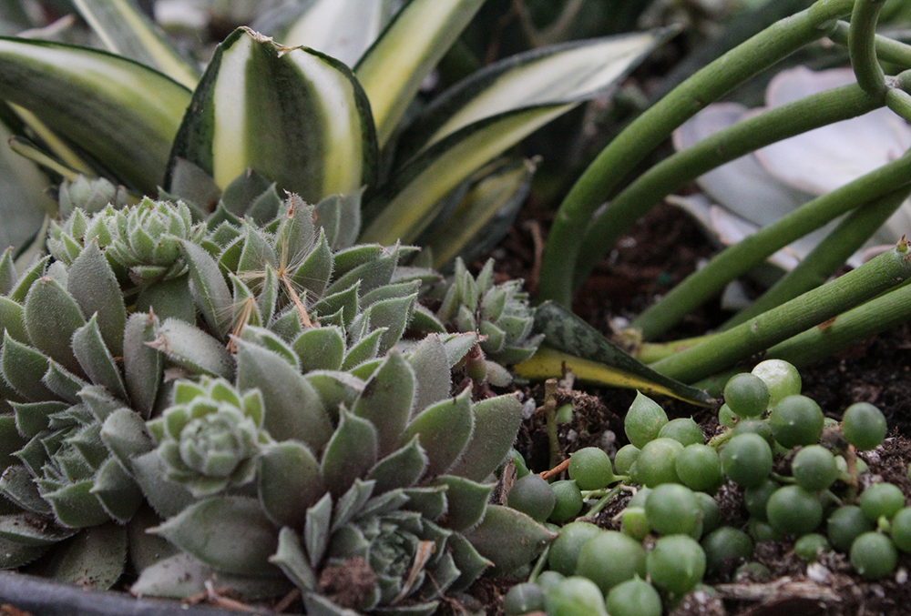 Photographic image of succulents.