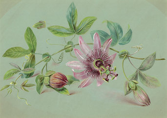 Painting of Caroline's passion flowers, intricately detailed against a light green background. One flower is in bloom along a leafy steam, while two others on the stem are yet to bloom.
